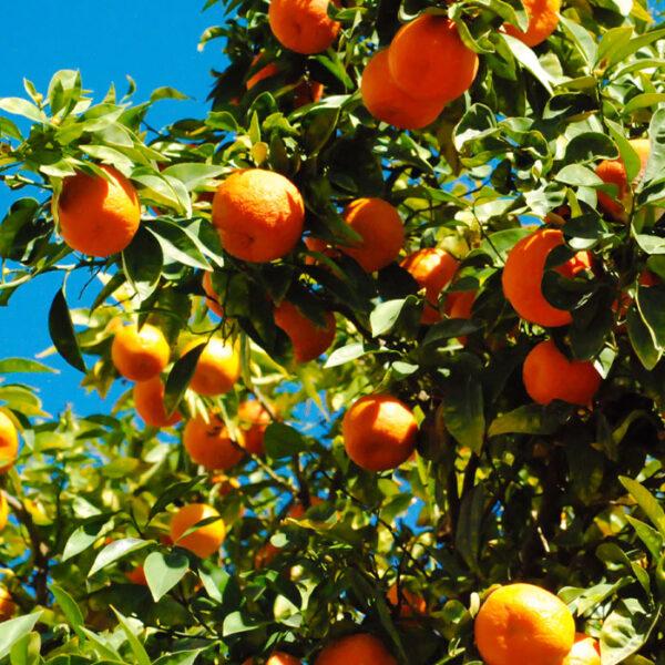 mandarini-comuni